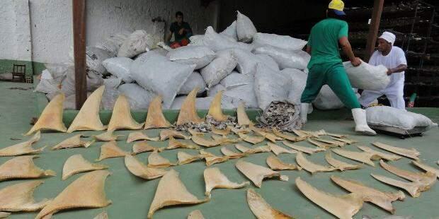 barbatana de tubar o - Empresa paraense é condenada por comercializar barbatanas de tubarão ilegalmente
