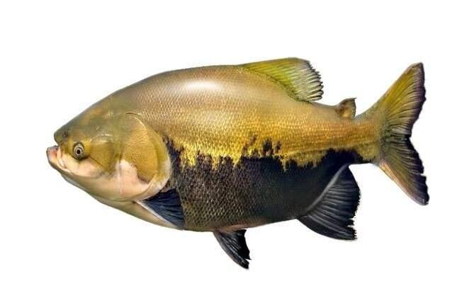 Também chamado de pacu vermelho, é um peixe de água doce e de escamas com corpo romboidal, nadadeira adiposa curta com raios na extremidade