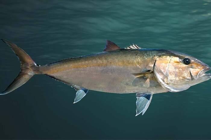 Tais peixes chegam a medir até 2 m de comprimento. Também são conhecidos pelos nomes populares de arabaiana, olhete, pitangola, tapiranga, tapirçá e urubaiana, e são muito visados pela pesca esportiva