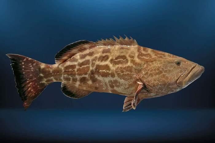 O Peixe Badejo é um animal que habita somente a água salgada, além de ser muito ativo