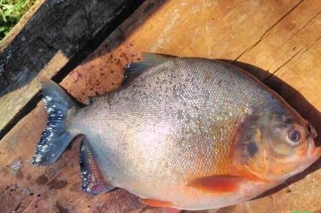 A Pirapitinga pertence à família Characidae, nativa da Bacia Amazônica e também presente nas águas do Araguaia-Tocantins