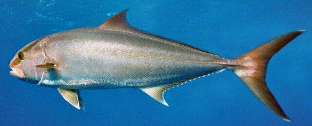 A Arabaiana é encontrada junto a ilhas oceânicas e muito raramente nas proximidades da costa. Pode formar cardumes, mas em geral os indivíduos são solitários.